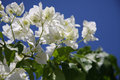 White Bougainvillea Royalty Free Stock Image