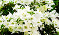 White Bougainvillea Flower On ...