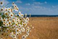 White bouqet of camomile in front of wheat field Royalty Free Stock Photography