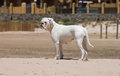 White boxer dog playing at the beach female of los lances tarifa spain Royalty Free Stock Photo