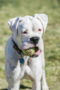 White boxer puppy with a ball in his mouth carrying the at the park stopping for picture Royalty Free Stock Images