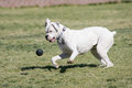 White boxer puppy playing at the park a ball Royalty Free Stock Image