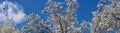 White bradford pear tree blooms springtime panorama Stock Photo