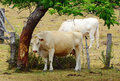 White brahman breed cow rubbing on tree trunk bark an australian purebred having a scratch against the rough of a under a leafy Stock Images
