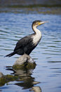 White-breasted Cormorant Royalty Free Stock Photo