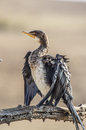 White breasted cormorant bird perched on a branch in south africa Royalty Free Stock Photos