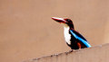White breasted kingfisher indian perched on a building fens Stock Photo