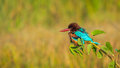 White breasted kingfisher resting on tree with green leaves and green background Stock Images