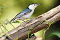 White Breasted Nuthatch Royalty Free Stock Photo
