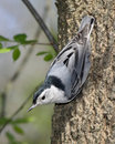 White Breasted Nuthatch, Royalty Free Stock Image