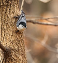 White-breasted Nuthatch on a Tree Stock Photos