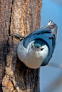 White breasted nuthatch upside down on tree head on view Stock Image