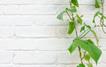 White brick background with wild grape plant Royalty Free Stock Photos