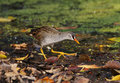 White browed crake amaurornis cinerea birds of thailand Stock Photography