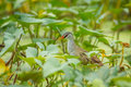 White browed crake porzana cinerea in nature of thaialand Royalty Free Stock Images