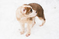 A white and brown central asian puppy walking in snow Stock Image