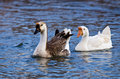 White and Brown Chinese Goose Royalty Free Stock Photography