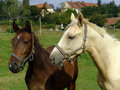 White and brown Horses Stock Photography