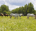 White and brown horses herd of grazing on meadow in blossom with camomiles Royalty Free Stock Photography