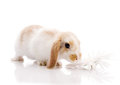 White and brown rabbit Stock Photos