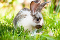 White and brown rabbit sitting in grass smiling at camera with green background Royalty Free Stock Images