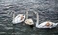 White brown swans on lake Ohrid, Macedonia Royalty Free Stock Photo