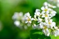 White Buckwheat flowers Stock Photography