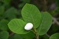 White bud of a magnolia of zibold magnolia sieboldii Stock Images