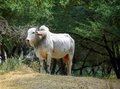 White bufallo on walk in sanctuary a Royalty Free Stock Images