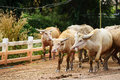 white buffaloes in herd Royalty Free Stock Photo