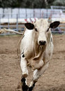 White bull running. Royalty Free Stock Photo