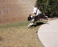 White bull terrier jumping over brindle bull terrier playing Royalty Free Stock Images