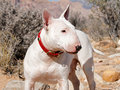 White bull terrier posing a in the desert for a profile portrait Royalty Free Stock Photo