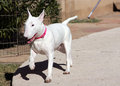 White bull terrier prancing around yard Royalty Free Stock Photos