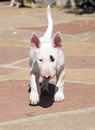 White bull terrier puppy walking a through the yard Stock Images