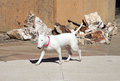 White bull terrier walking around yard Stock Image