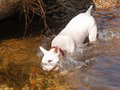 White bull terrier in the water a putting her head underwater looking for a stick Stock Image