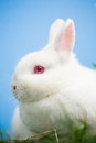 White bunny pink eyes ears sitting grass blue background Stock Images