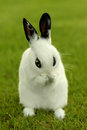 White Bunny Rabbit Outdoors in Grass Royalty Free Stock Images