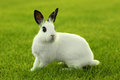 White Bunny Rabbit Outdoors in Grass Stock Photo
