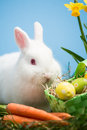 White bunny sitting easter eggs green basket carrots grass daffodils Stock Image