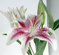 White and burgundy lily Royalty Free Stock Photo