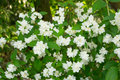 White Bush Flowers