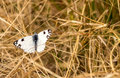 White butterfly with black markings narrow depth of field shot of in dry grass meadow Royalty Free Stock Image