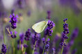 White butterfly on blooming lavender Royalty Free Stock Photo