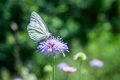 White Butterfly with a bokeh background Royalty Free Stock Image