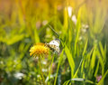 White butterfly on a dandelion flower close up Royalty Free Stock Images