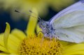 White butterfly deatail of cabbage sitting on yellow flower Royalty Free Stock Photo