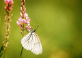 White butterfly on the flower Royalty Free Stock Photo