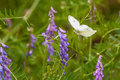 White butterfly flying to a lavender flowering plant Royalty Free Stock Photo